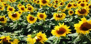 hayessunflowers